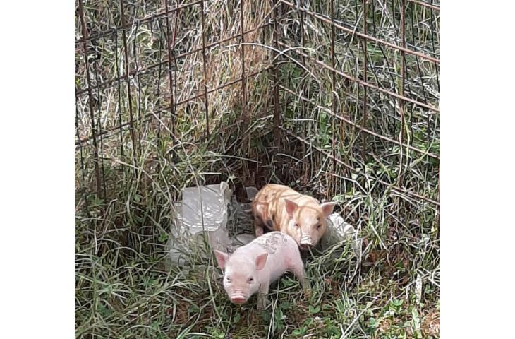 Cuccioli di maiali